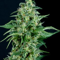 Kryptonite x1 Fem Pyramid Seeds