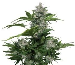 White Dwarf Auto x3 Buddha Seeds