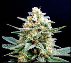 Kritikal- K x3 Fem Kannabia Seed