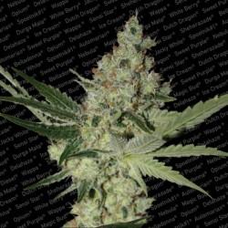 Acid x3 Feminizada - Paradise Seeds