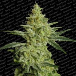 Allkush X3 Feminizada - Paradise Seeds