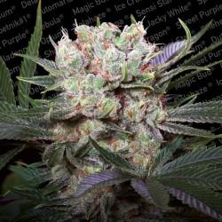 Californian Gold X3 Fem - Paradise Seeds