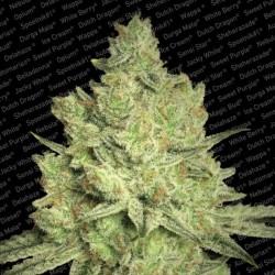 Jacky White X3 Fem - Paradise Seeds