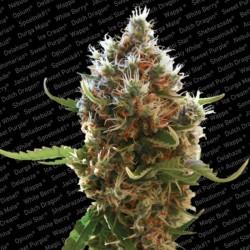 Lucid Bolt X3 Fem - Paradise Seeds