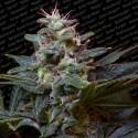 Sweet Purple X3 Fem - Paradise Seeds