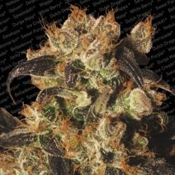 White Berry X3 Fem - Paradise Seeds