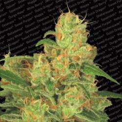 Acid Auto X3 - Paradise Seeds