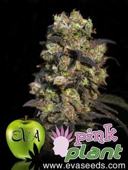 Pink Plant x3 Fem Eva