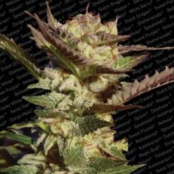 Durga Mata X3 Fem - Paradise Seeds