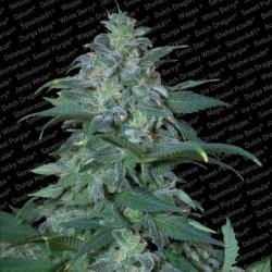 Magic Bud X3 Fem - Paradise Seeds
