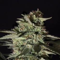 Medizinal CBD x1 Fem Genehtik Seeds