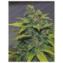Banana Zkittlez x3 Fem - Medical Seeds