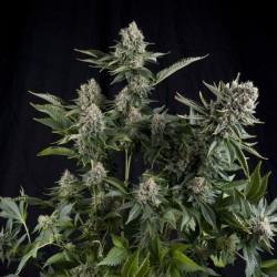White Widow CBD x3 Fem - Pyramid Seeds