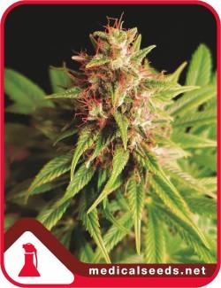 Red Cross CBD x3 Fem - Medical Seeds